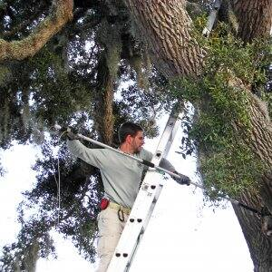 wildlife expert on ladder removing raccoon from tree